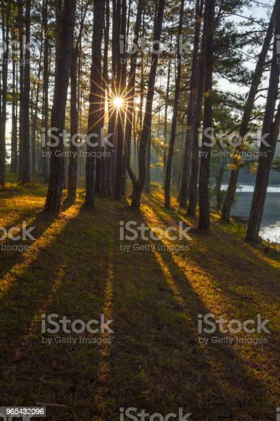 Las Sosnowy W Słońcu - zdjęcia stockowe i więcej obrazów Bez ludzi
