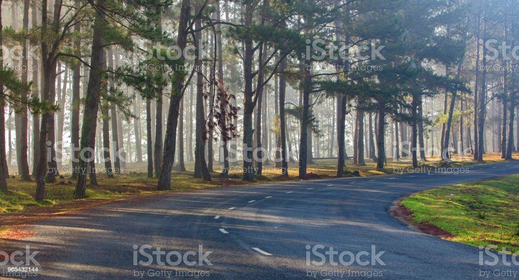Forêt de pins de lumière naturelle - Photo de Arbre libre de droits
