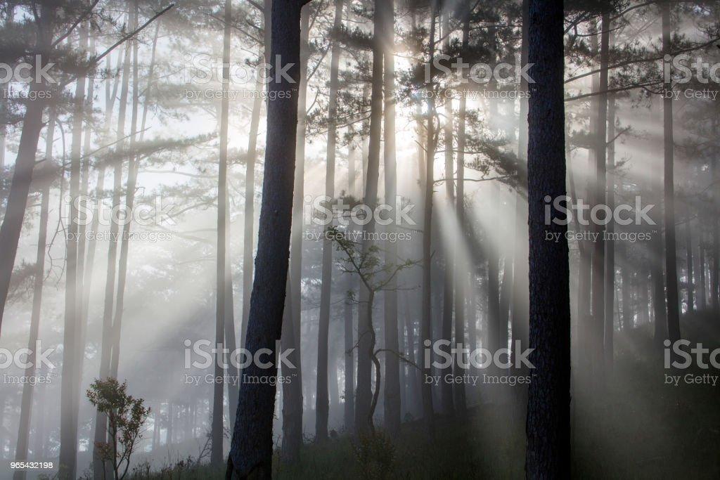 파인에서 임산 직사광선이 비치는 곳에 - 로열티 프리 0명 스톡 사진