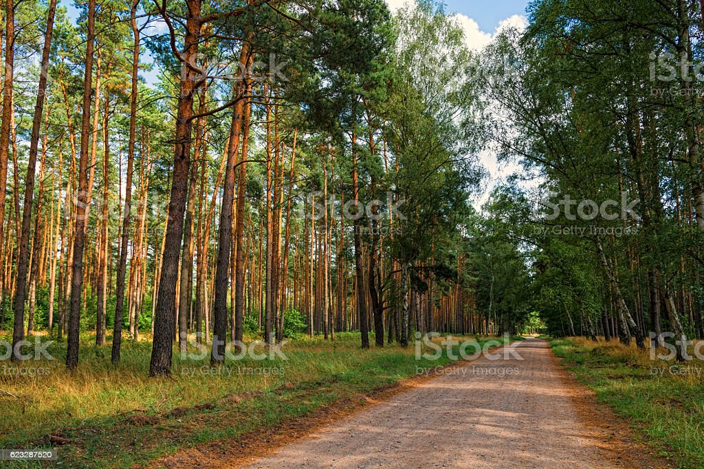 pine forest in sunset with sandy road in Germany Brandenburg stock photo