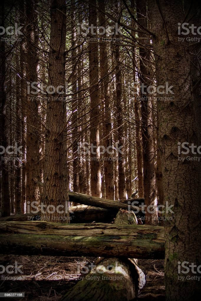 Pine forest logs foto royalty-free