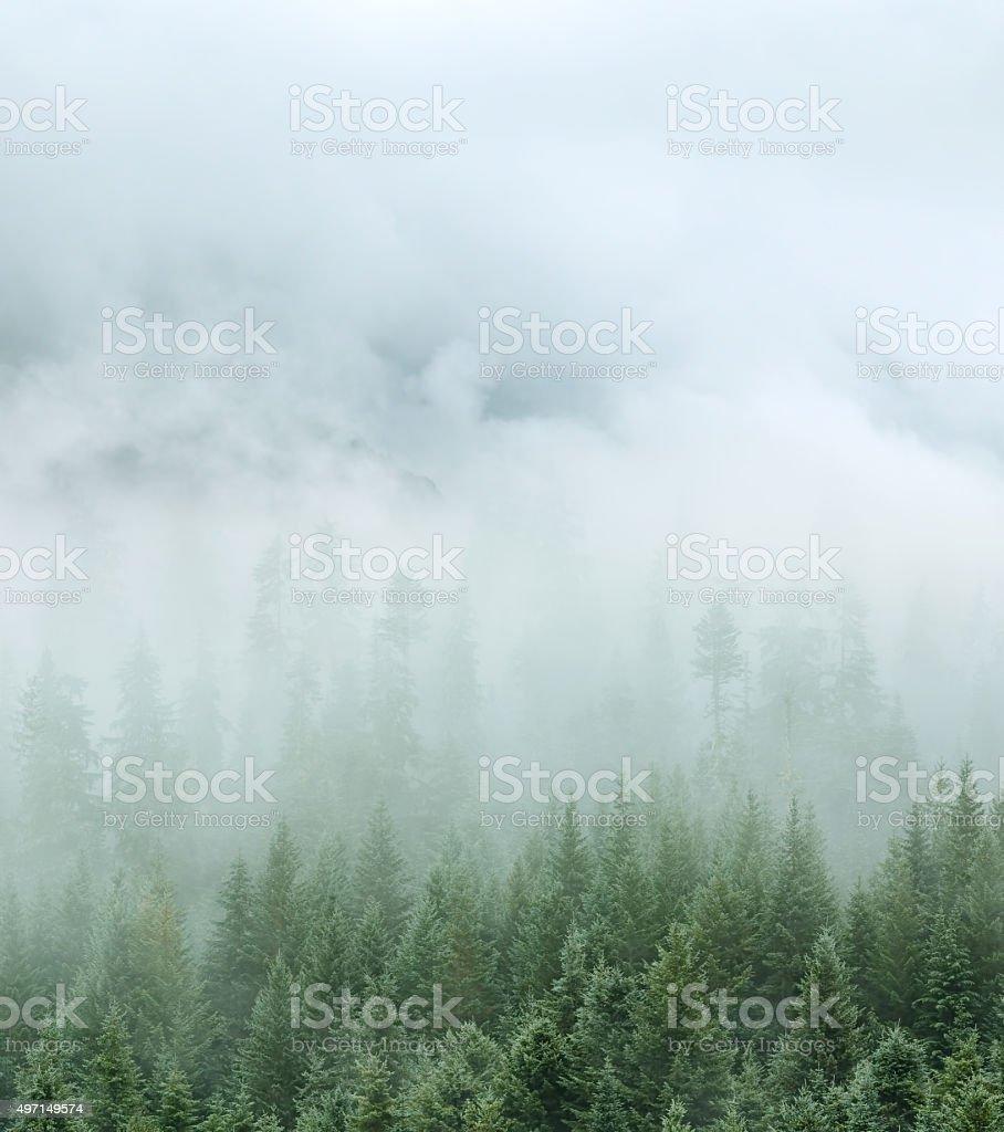 Pine forest nature landscape stock photo