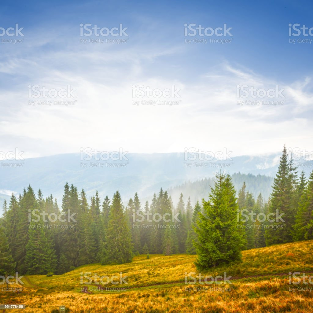 pine forest on a mount slope in a blue mist royalty-free stock photo