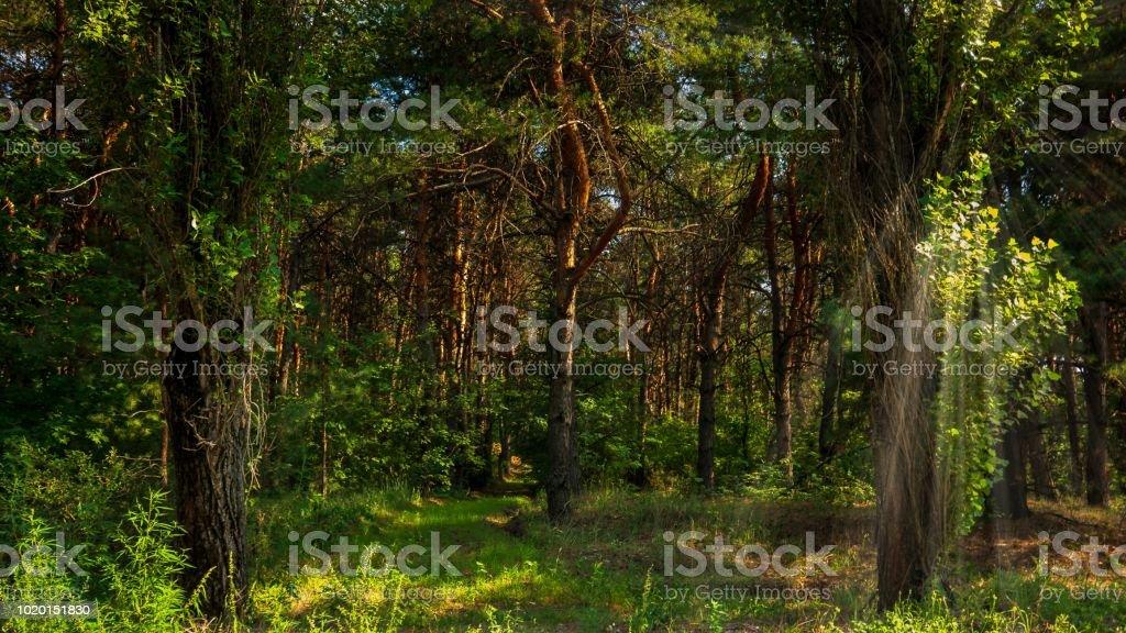 forêt de pins sur une journée ensoleillée d'été - Photo