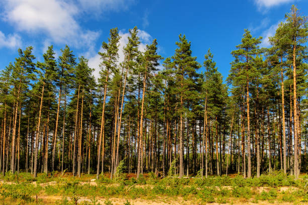 pine forest on a sunny day stock photo