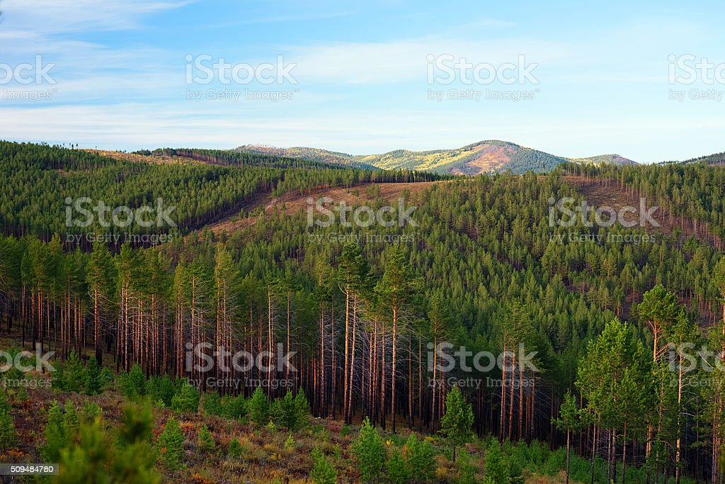 Pine forest on the hills stock photo