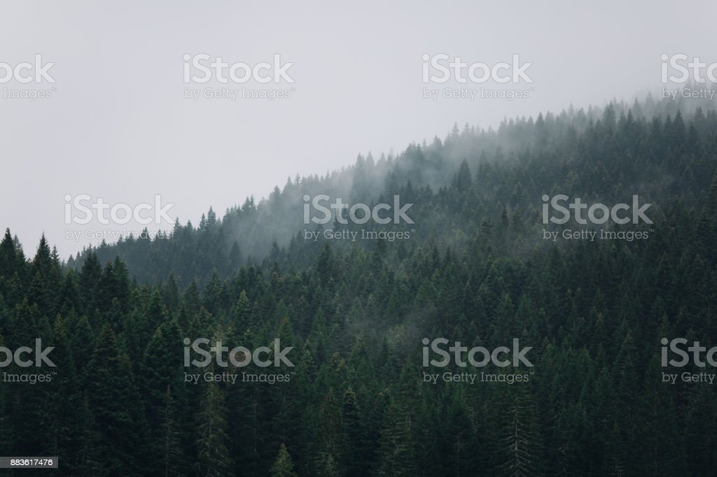 Pine forest on the mountains stock photo
