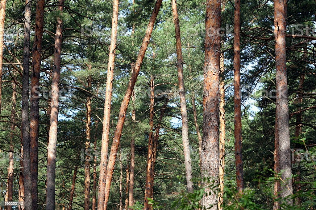 Pine forest. Orange tree trunks are full of sun light royalty-free stock photo