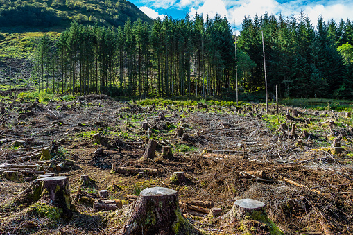 Pine forest pach exploitation