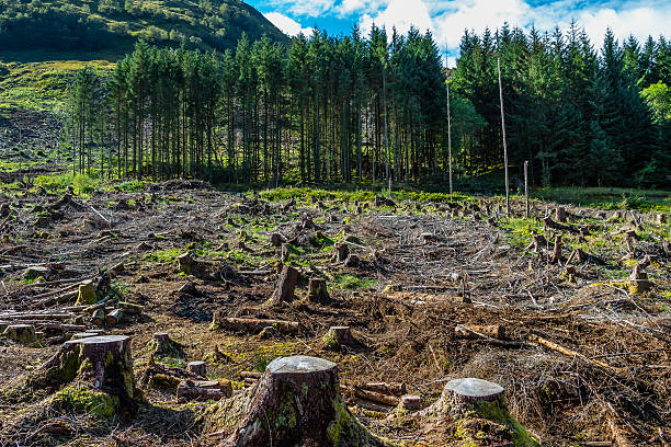 Pine forest pach exploitation Pine tree forestry exploitation in a sunny day near Glencoe, in the Highlands of Scotland. Stumps and logs show that overexploitation leads to deforestation endangering environment and sustainability. deforestation stock pictures, royalty-free photos & images