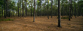 Forest, Pine Tree, Tree Trunk, Tree, Wood - Material
