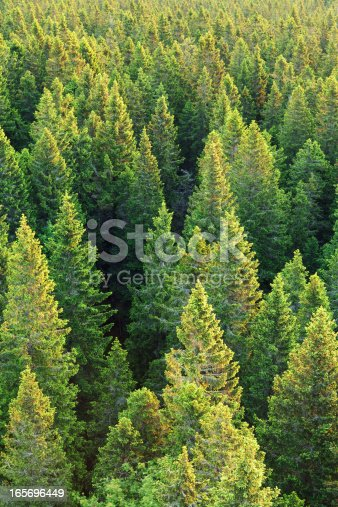 Pine forest at sunrise. Top of the trees brightened by early morning sunlight.