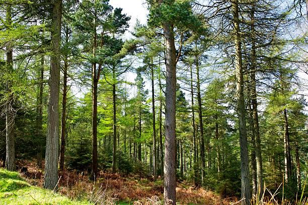 pine forest - fur bildbanksfoton och bilder