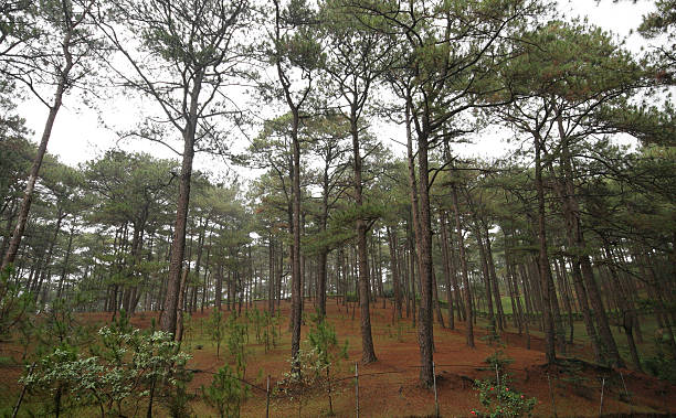 pine forest - baguio city stock photos and pictures