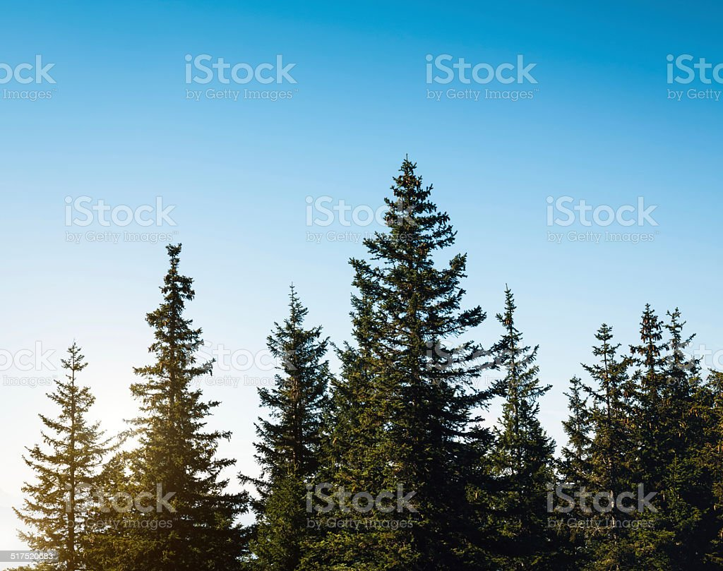 Pine Forest – Foto