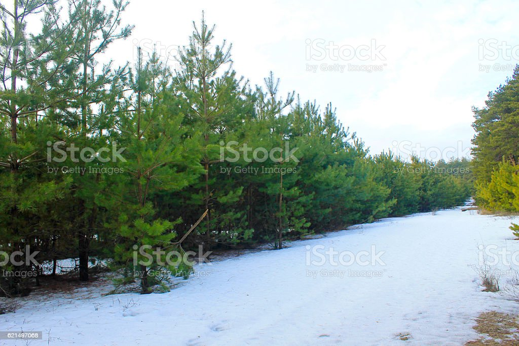 Pine forest  photo libre de droits