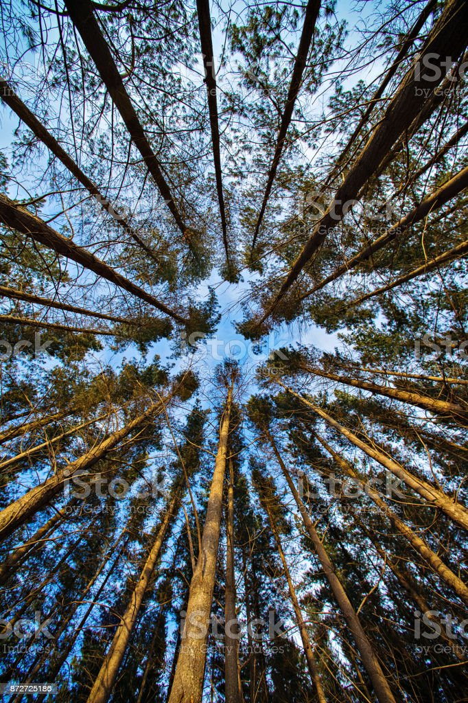 Pine Forest Sky stock photo