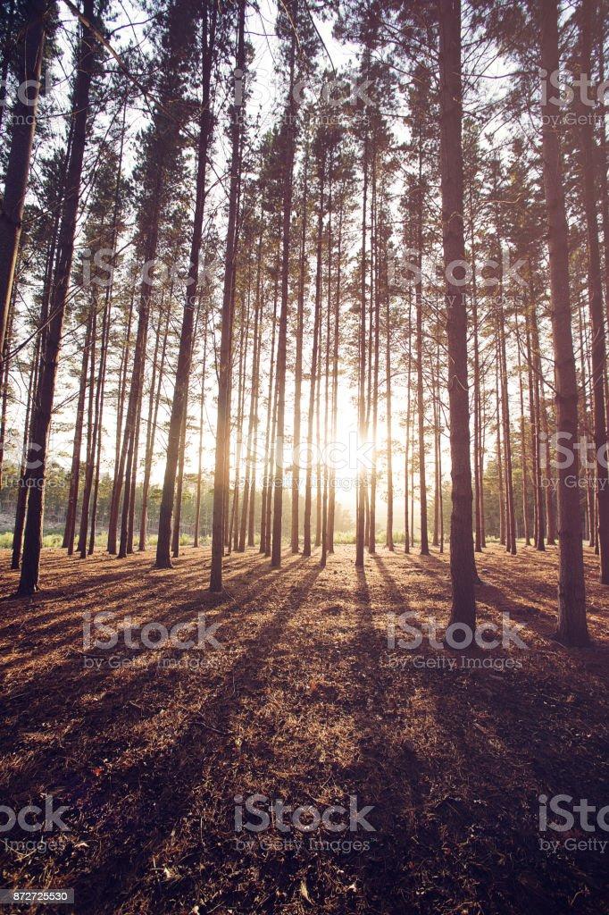 Pine Forest Sunrise stock photo
