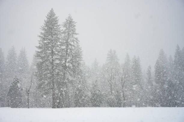 Pine Forest Through Snow Storm stock photo