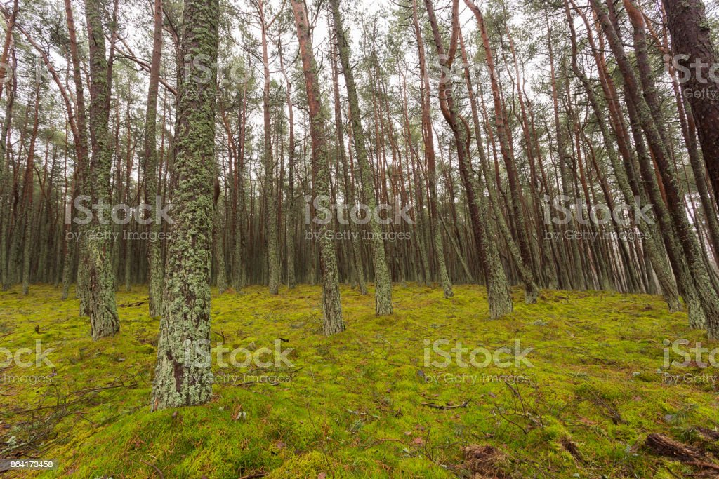 pine forest trees in the moss, cloudy day royalty-free stock photo