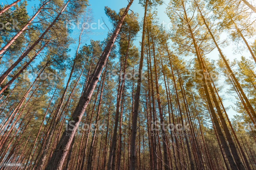 Pine forest up view on a sunny day. stock photo