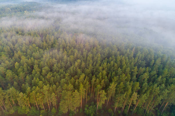Pine forest view from above stock photo
