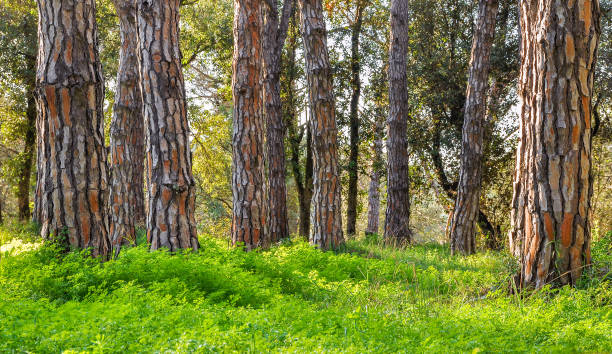 Pine forest with bright green grass stock photo