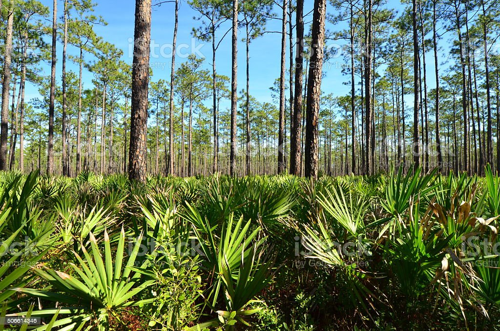 Pine forest with palmetto shot at frond tip level stock photo