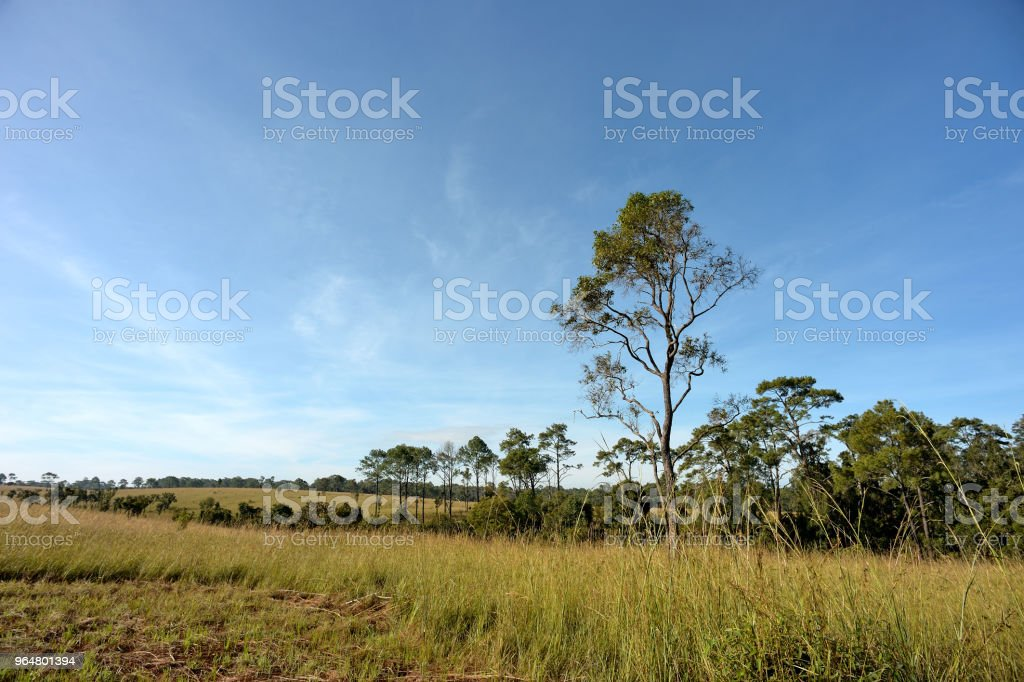 pine forest with sun light royalty-free stock photo