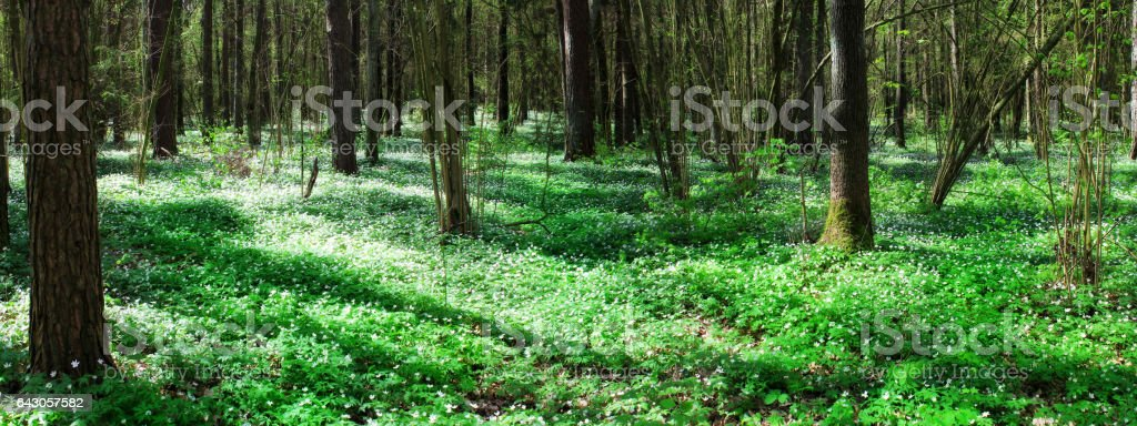 Pine forest with white snowdrops stock photo