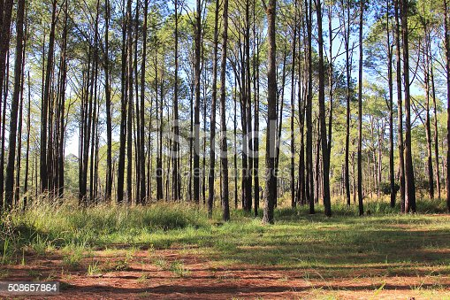 519188550istockphoto Pine forests 508657864