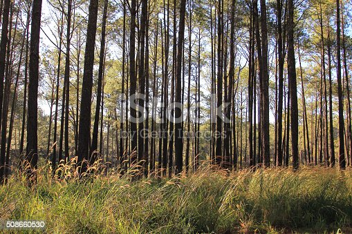 519188550istockphoto Pine forests 508660530