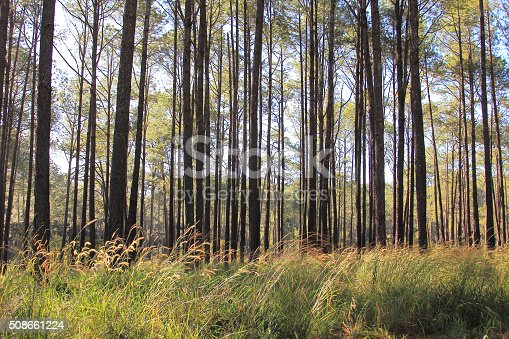 519188550istockphoto Pine forests 508661224