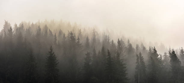 Pine Forests. . Misty morning view in wet mountain area. trees in mist stock pictures, royalty-free photos & images