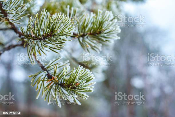 Photo of Pine green branches in hoarfrost late fall