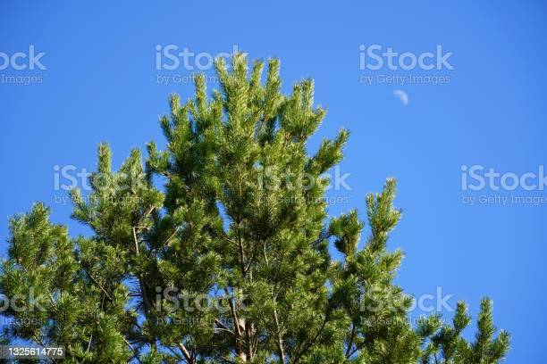 Photo of Pine green tree with blue clear sky and half moon day. View from down to top.