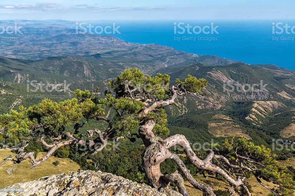 Pine grows over the precipice at the top of Demerdzhi photo libre de droits