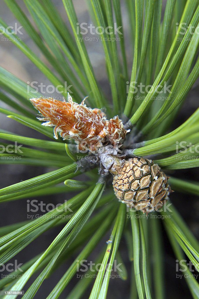 pine growth royalty-free stock photo