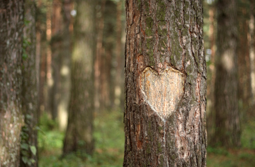 Pine Heart