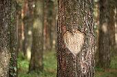 Heart Shape Carved on a Tree