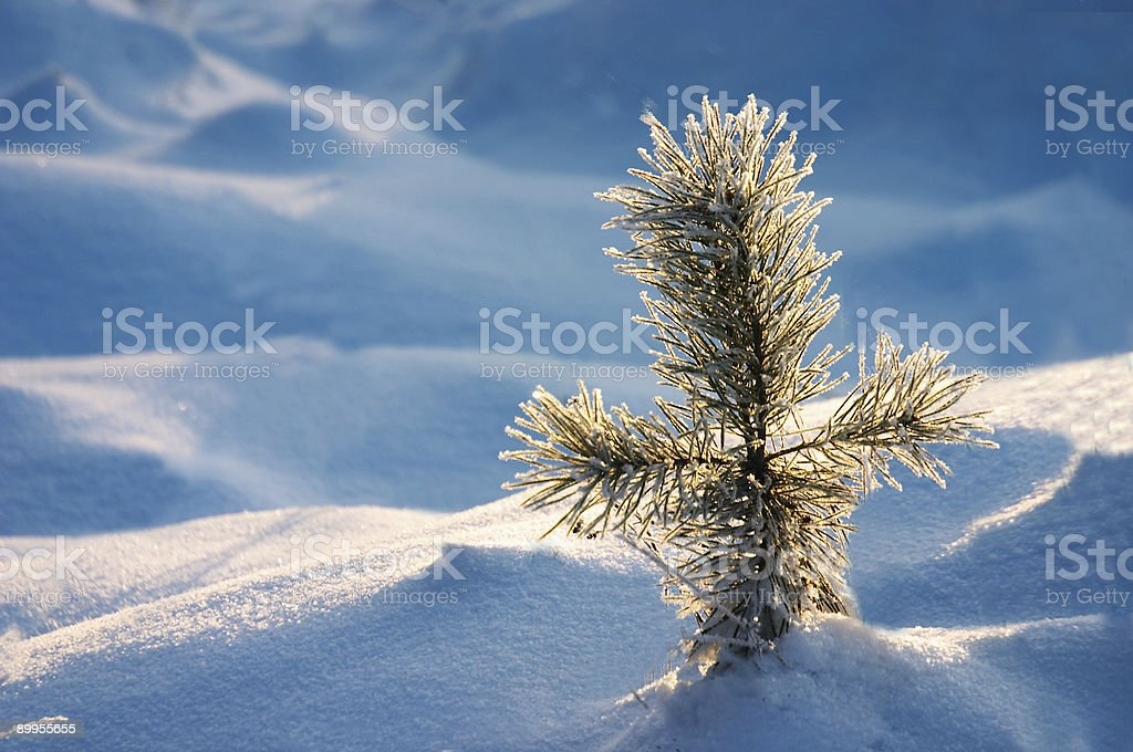 pine in snow royalty-free stock photo