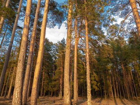 Pine in the forest at sunset. Evening forest.