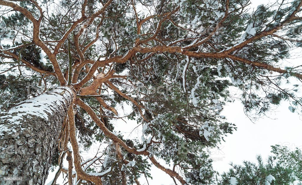Pine in the winter forest. stock photo