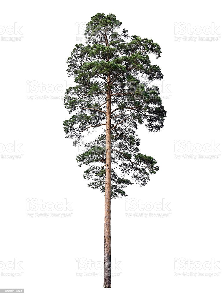 Pine isolated on white stock photo