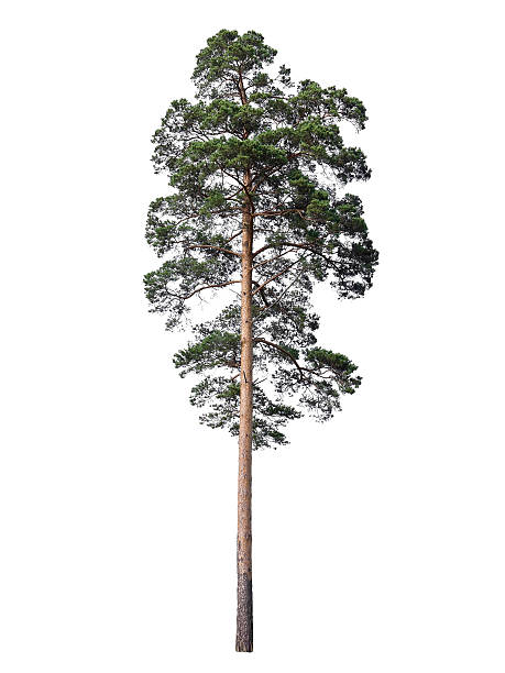 pine isolated on white - tall high stock pictures, royalty-free photos & images