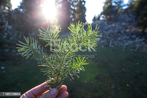 Pine leaf on the human hand with sunlight in forest.