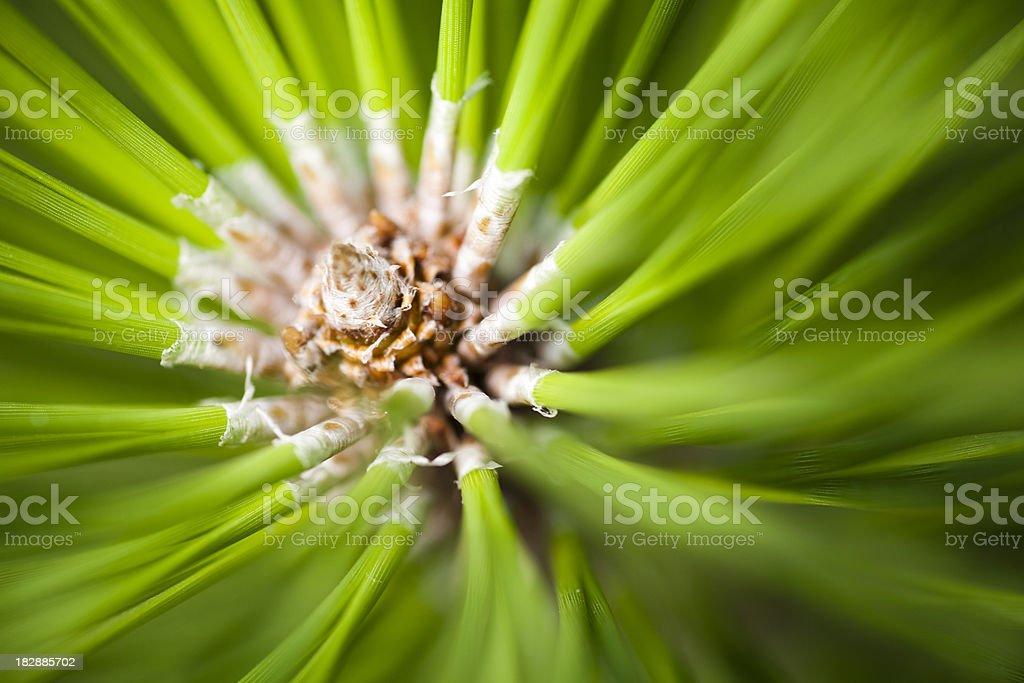Pine Leaf royalty-free stock photo