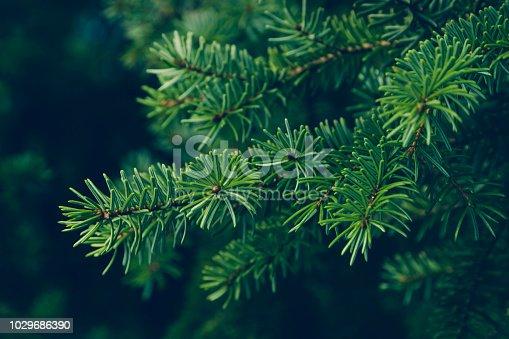 istock pine leaves 1029686390
