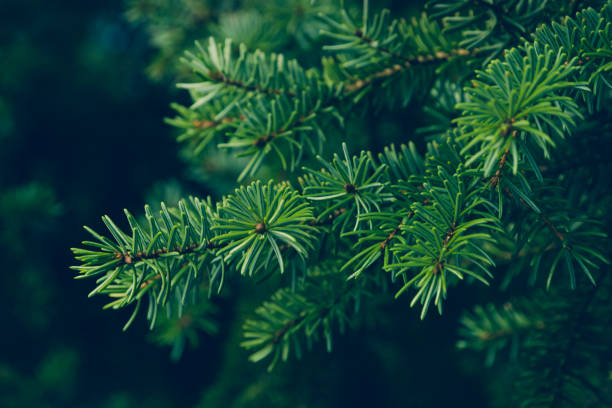 pine leaves Natural background. christmas trees stock pictures, royalty-free photos & images