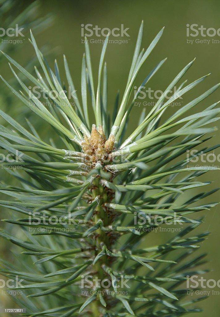 pine leaves stock photo